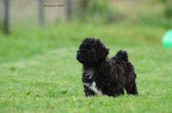 Tibetan Terrier Puppies For Sale