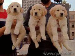 KCI GOLDEN RETRIEVER PUPPIES FOR SALE