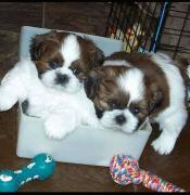 Cute Shih tzu puppies for pets lovers