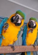 Presently, we are hand raising various kinds of , African greys ,macaws and diff