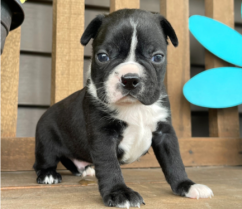 Awesome Boston Terrier puppies