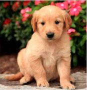 Sparkly Golden Retriever and Labrador Puppies available now