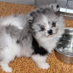 Strong and Healthy Pom available and affordable