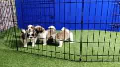 I am proud to announce my beautiful  puppies ready for their forever homes. They