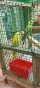 Love Birds New Arrivals