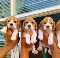 Beagle puppies available in Chennai