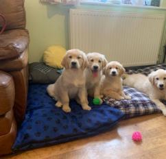 Original breeds Golden retriever and Labrador puppies