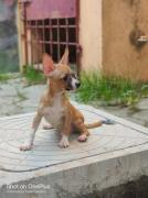 Chihuahua puppy for sales in chennai