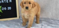Powerful and energetic Golden retriever and Labrador