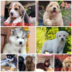 I've lab, golden retriever,husky,beagle,shitzu and