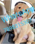 Very Cute Golden retriever puppy for adoption. Wha