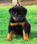 ALL BREED PUPPY AVAILABLE