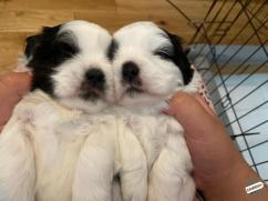 Gorgeous shih tzu puppies all ready hdh