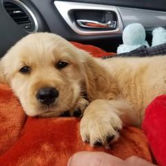 Awesome Labrador and golden Retriever Puppies