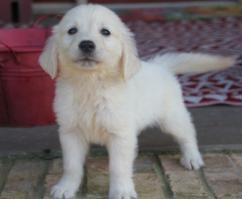 Jovial Golden Retriever and Labrador Puppies for Adoption