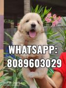 Golden Retriever puppies for adoption WhatsApp