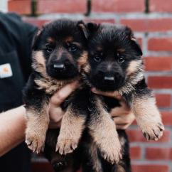 GERMAN SHEPHERD LONG COAT HEAVY BONE SHOW PUPPIES AVAILABLE , male and female pu