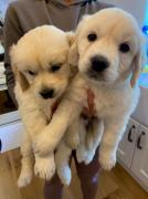 Golden Retrievers and Labrador puppies for People