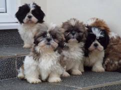 Cute Shih Tzu Puppies Available Now For Adoption