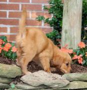 Original breeds Golden retriever and Labrador now