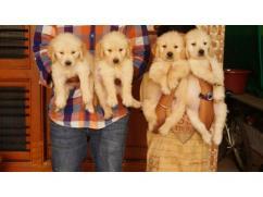 Adorable Retrievers for Adoption