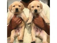 Male and Female Retriever Puppies Available