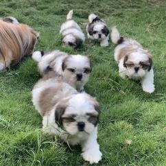 KCI SHIH TZU PUPPIES FOR REHOMING TO NEW HOME TODAY