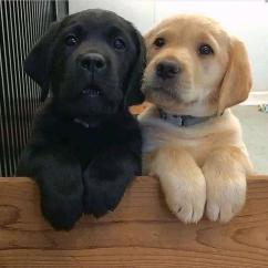 Labrador puppies available for adoption. We breed for quality and health, temper