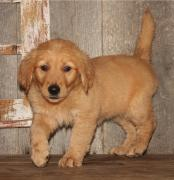 Fastest Golden Retriever and Labrador and husky Puppies
