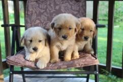 Golden Retrievers and Labrador puppies for sweet home