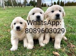 Golden retriever for adoption WhatsApp: 8089603029