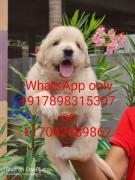 German Shepad, lab, shitzu, beagle puppy for adopt