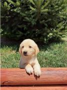 Intelligent Golden Retriever and Lab Puppies Ready