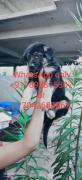 German Shepard puppy for rehoming?? WhatsApp only