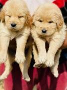 Golden Retriever And Labrador Puppies Available Contact On Whasapp At7348519247