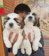 Shih Tzu Male And Female Puppies Available contact on whasapp at 9336616349