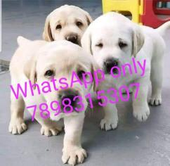 Cute Labrador puppy for rehoming?? WhatsApp only 7