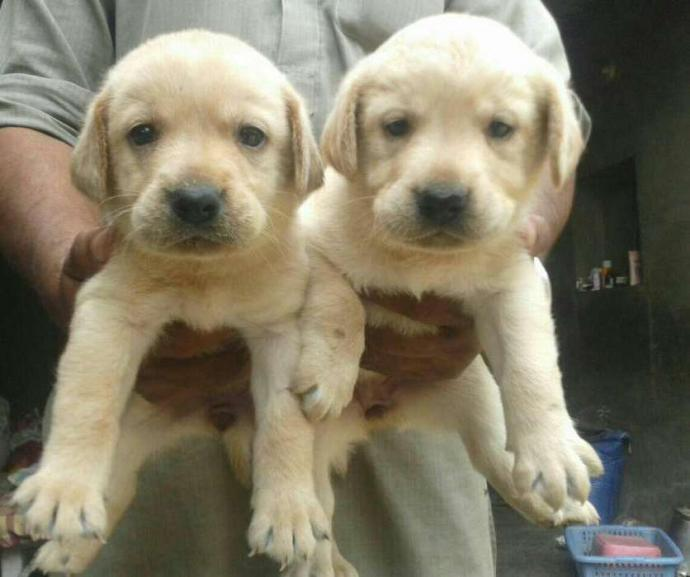 Labrador male puppy available for sell