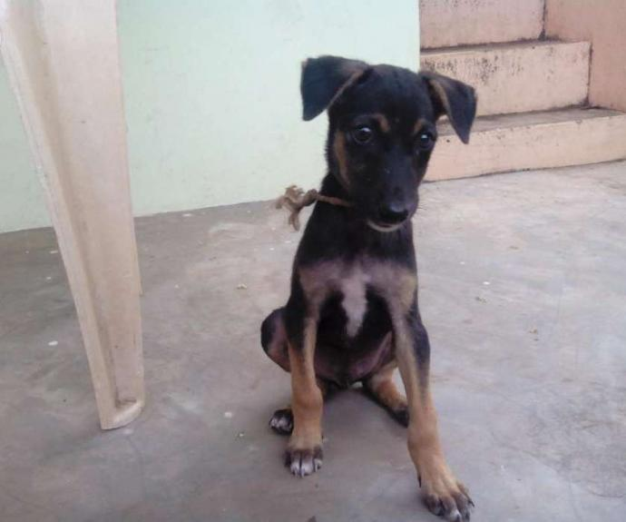 Doberman male puppy in Tamil Nadu
