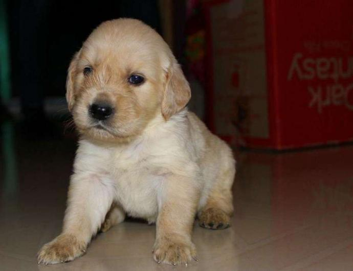 golden retriver puppies available
