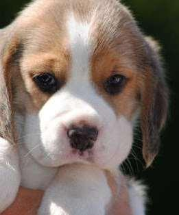 Cute Beagle Puppy Available In Low Price Jaipur Zamroo