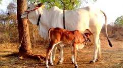 DesiVillage Cow Milk